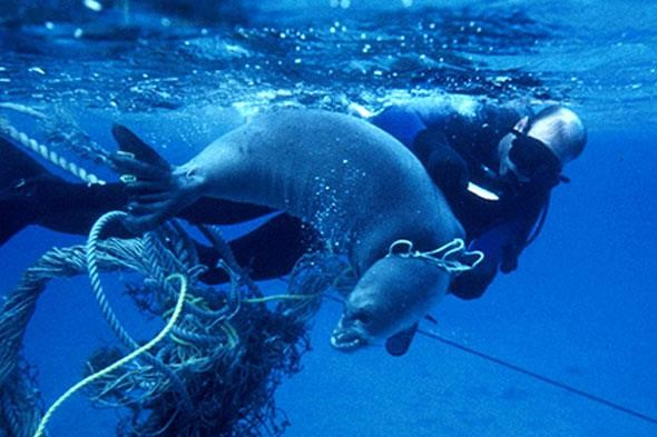 seal tangles up and being struggled by plastic trash in the ocean