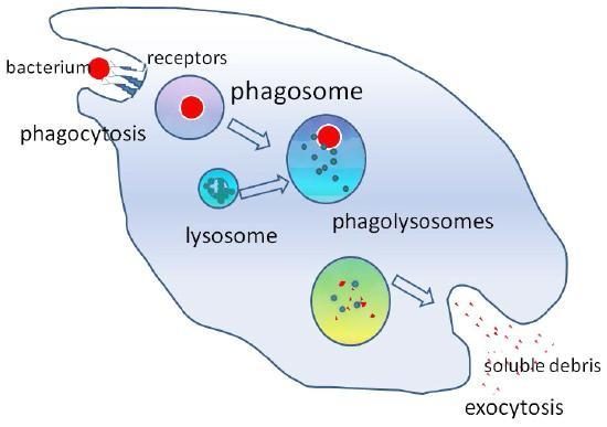 The bacterium is taken up by phagocytosis into a phagosome that merges with the lysosome to create a phagolysosome.