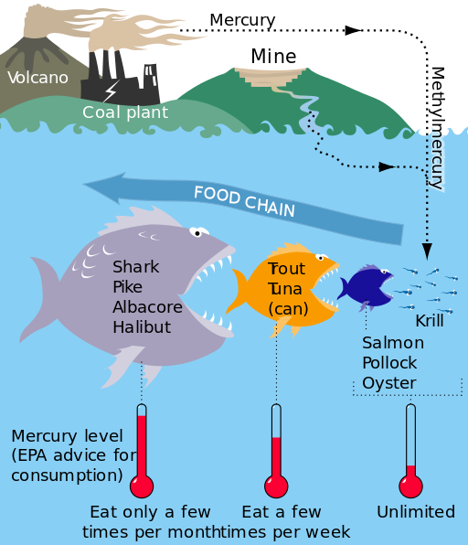 Graphic shows how mercury released into the atmosphere by volcano and coal plants combines with mine run off to create methymercury which pollutes bodies of water. Small fish eaten by bigger fish eaten by bigger fish contain increasing levels of mercury. The EPA advises that fish at the top of the food chain such as shark, pike, albacore, and halibut should only be consumed a few times a month. Trout or tuna, having lower mercury levels, can be eaten a few times per week. Salmon, pollock, and oysters have the lowest mercury levels and the EPA currently does not recommend limits for consumption.