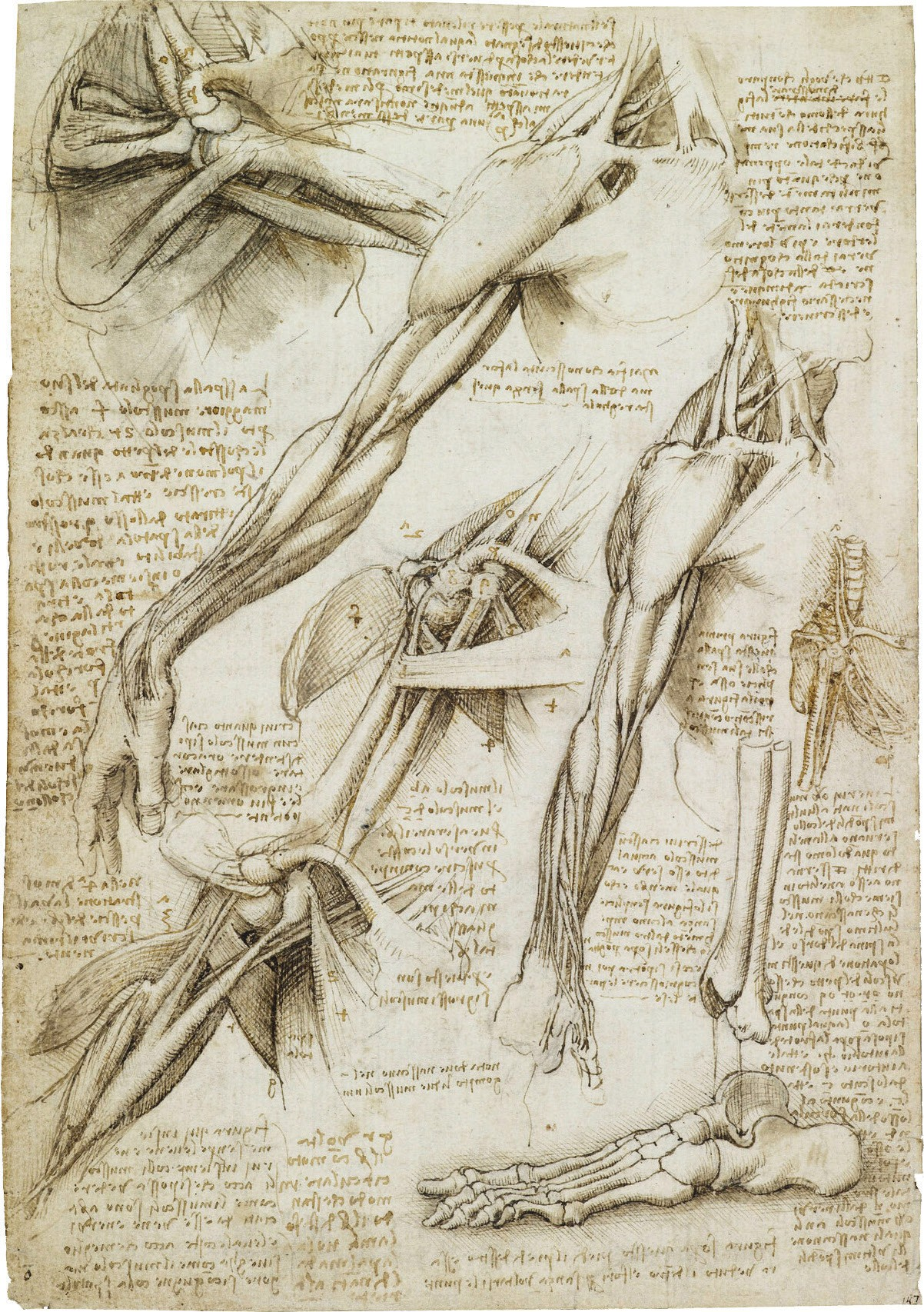 Anatomical studies of muscles of the arm and shoulder, bones of the foot