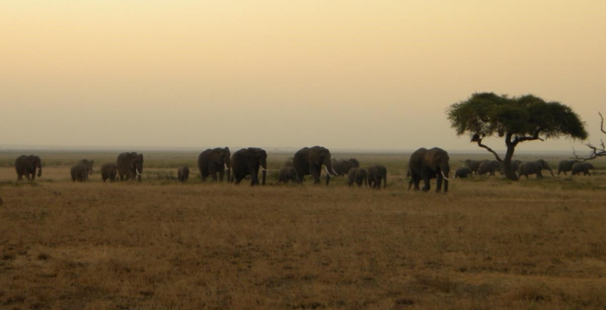 A group of elephants in a Kenyan national park