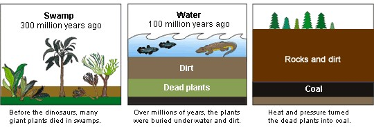 The process of coal formation. Swamp 300 million years ago, before the dinosaurs, many giant plants died in swamps. Water 100 million years ago, over millions of years, the plants were buried under water and dirt. Heat and pressure turned the dead plants into coal.